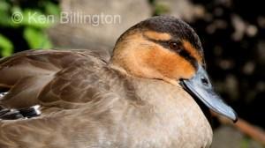 Philippine Duck (Anas luzonica) (7).JPG
