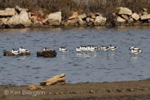 Pied Avocet (Recurvirostra avosetta) (02)