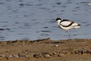 Pied Avocet (Recurvirostra avosetta) (01)