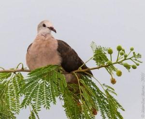 Pink Pigeon Nesoenas mayeri
