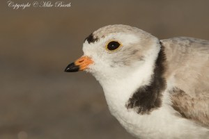 Piping Plover NT