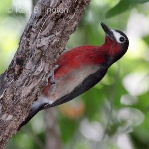 Puerto Rican Woodpecker (Melanerpes portoricensis) (8)