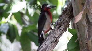 Puerto Rican Woodpecker (Melanerpes portoricensis) (9)