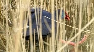 Purple Swamphen (Porphyrio porphyrio) (01)