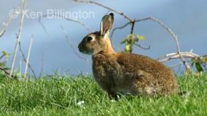 Rabbit (Oryctolagus cuniculus) (1)