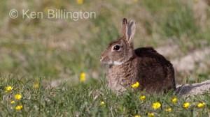 Rabbit (Oryctolagus cuniculus) (10)