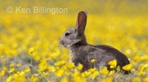Rabbit (Oryctolagus cuniculus) (11)