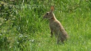 Rabbit (Oryctolagus cuniculus) (4)