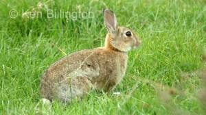 Rabbit (Oryctolagus cuniculus) (5)