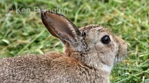 Rabbit (Oryctolagus cuniculus) (6)