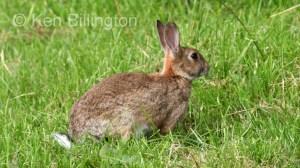 Rabbit (Oryctolagus cuniculus) (8)