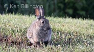 Rabbit (Oryctolagus cuniculus) (9)