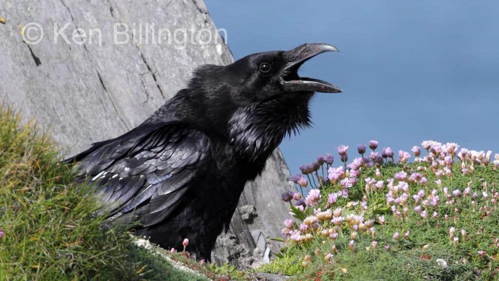 Common ravens (Corvus corax) nesting on Alaska's North ...