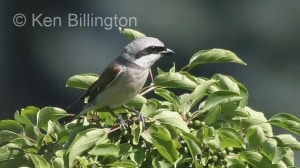 Red-backed Shrike (Lanius collurio) (1)