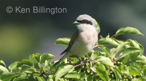 Red-backed Shrike (Lanius collurio) (2)