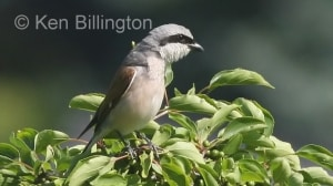 Red-backed Shrike (Lanius collurio) (3)