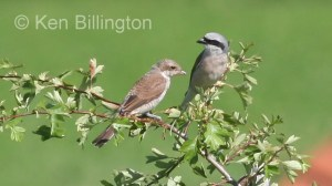 Red-backed Shrike (Lanius collurio) (4)
