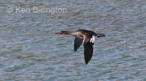 Red-breasted Merganser (Mergus serrator) (1).JPG