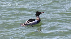 Red-breasted Merganser (Mergus serrator) (6).JPG