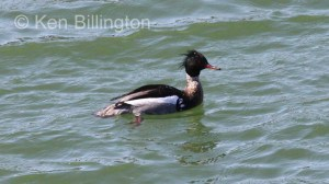 Red-breasted Merganser (Mergus serrator) (7).JPG