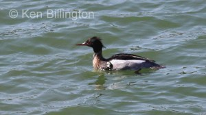 Red-breasted Merganser (Mergus serrator) (8).JPG