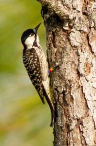 Red-cockaded Woodpecker Picoides borealis