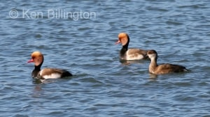 Red Crested Pochard (Netta rufina)