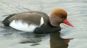 Red-crested Pochard Netta rufina