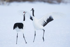 Red-crowned Crane Dancing