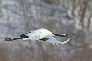 Red-crowned Crane in Flight