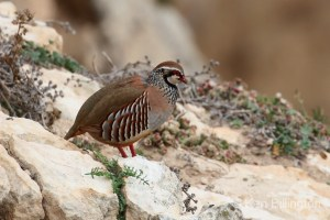 Red-legged Partridge (Alectoris rufa) (01)