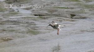 Redshank (Tringa totanus) (04)