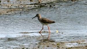 Redshank (Tringa totanus) (07)