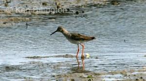 Redshank (Tringa totanus) (08)