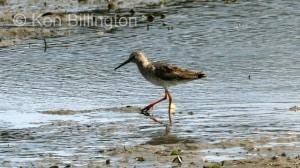 Redshank (Tringa totanus) (09)
