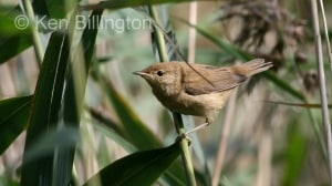 Reed Warbler (Acrocephalus scirpaceus) (1)