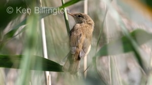 Reed Warbler (Acrocephalus scirpaceus) (2)