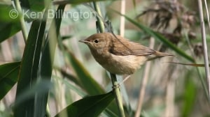 Reed Warbler (Acrocephalus scirpaceus) (3)