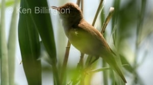 Reed Warbler (Acrocephalus scirpaceus) (5)