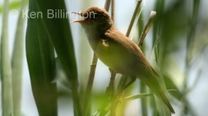 Reed-warbler Acrocephalus scirpaceus