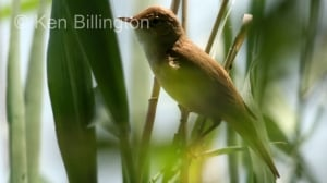 Reed Warbler (Acrocephalus scirpaceus) (7)