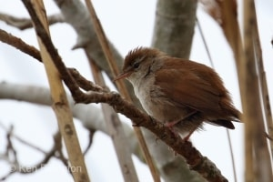 Reed Warbler (Acrocephalus scirpaceus) (10)