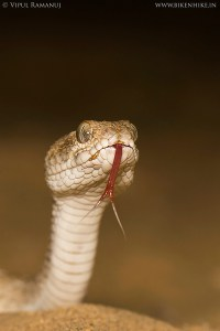 Sochurek's Saw-scaled Viper