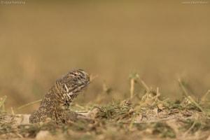 Spiny-tailed Lizard | Saara Hardwickii