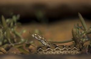 Saw-scaled Viper | Echis Carinatus Sochureki