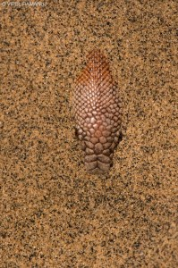 Red Sand Boa  -  Eryx Johnii