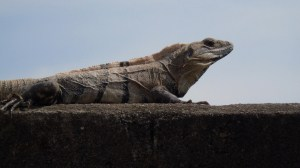 Black Iguana Everywhere