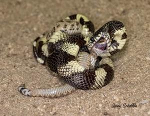 Kingsnake Eats Rattlesnake