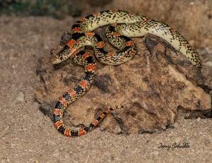 Long-nosed Snake