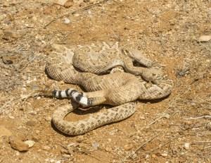 Western Diamond-backed Rattlesnakes Mating